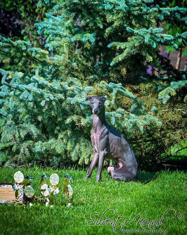 Левретка кобель вязка - Silvento Kronos. Italian greyhound male for stud