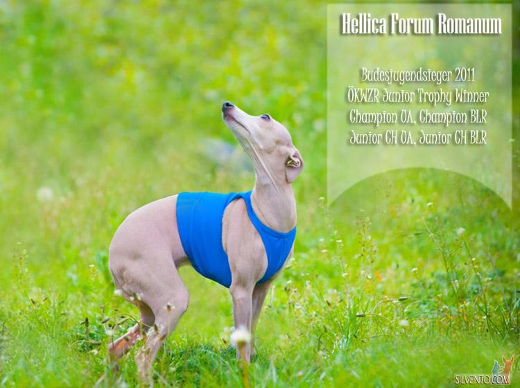 italian sighthound coursing