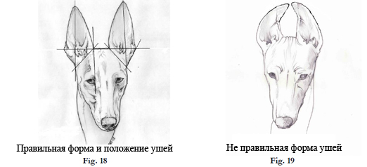 Чирнеко уши и форма ушей. Перевод - Стахорская А.