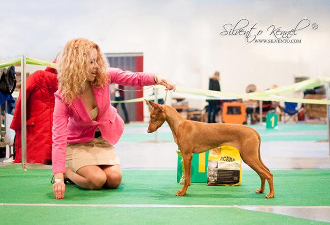 Чирнеко щенок 7 мес. на выставке - Creta del Gelso Bianco