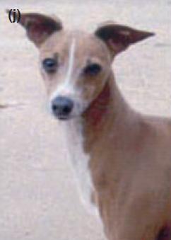 изабелловая левретка генотип окраса собаки