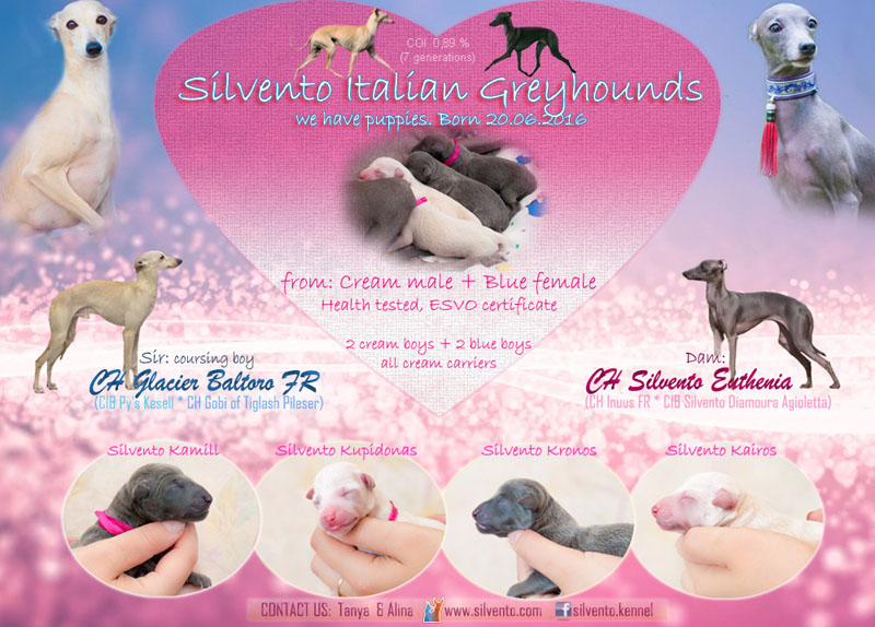 italian greyhound blue, crea, puppies