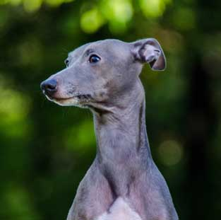 italian greyhound male stud