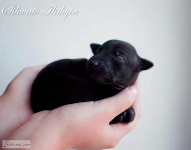 1 week Silvento Ilithyia-italian greyhound puppy