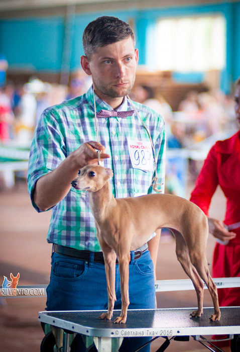 Italian sighthound Belarus, Minsk 2016