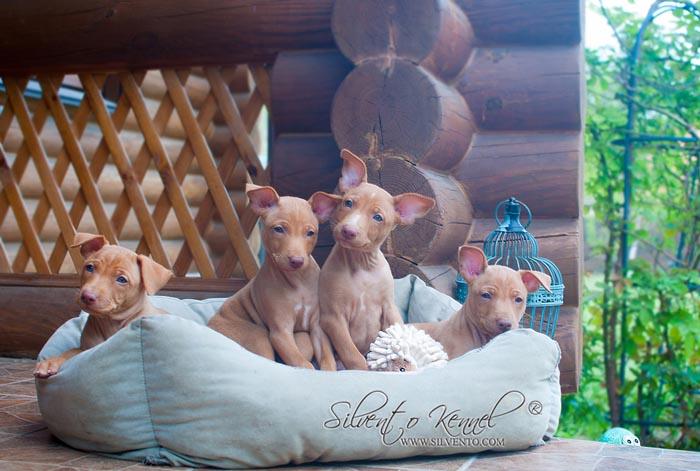 cirneco puppy silvrento