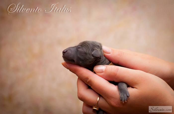 Silvento Italus newborn