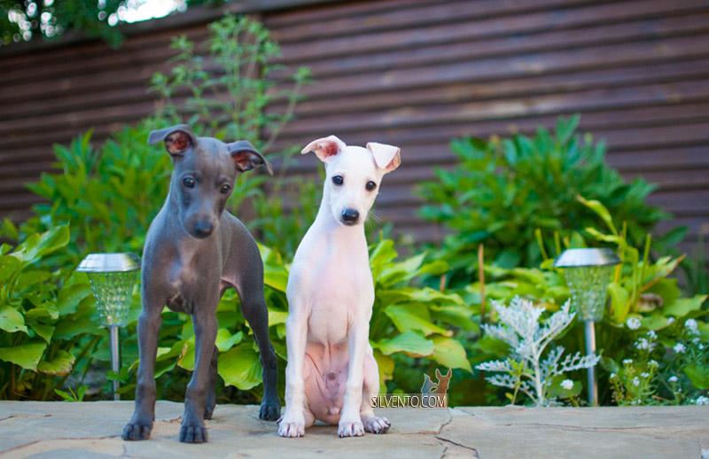 Silvento Kairos - щенок левретка кремовый