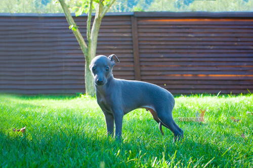 Silvento Kronos italian greyhound puppy