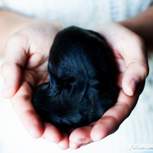Silvento-hestia-newborn-puppy