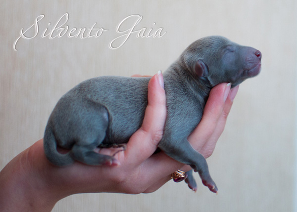 Silvento Gaia 1 day old