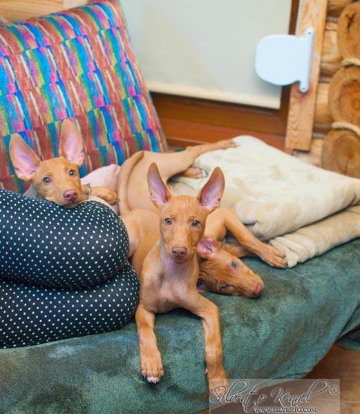 Чирнеко дель Этна щенок - 2 месяца