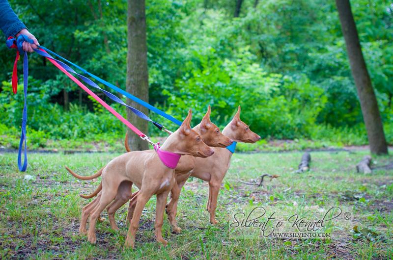 Чирнеко щенок от сицилийской пары - впервые в Украине