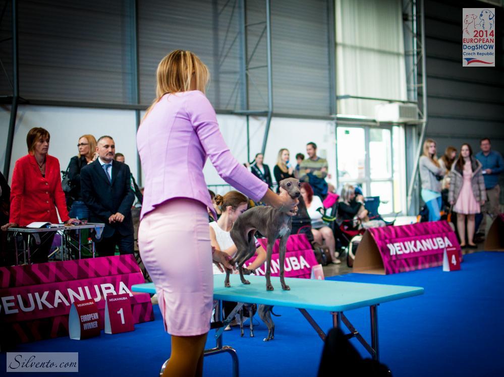levretka Silvento Gaia Eurodogshow 2014