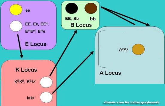 Локусы окрасов левреток, генетика окрасов собак