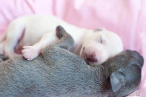 cream italian greyhound puppy